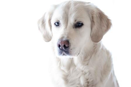 Hämangiosarkom Hund